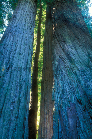 "california, grove, redwood, ""redwoods national park"", stout, tree, scenic, landscape, nature, travel, art, photo, photograph, photography"