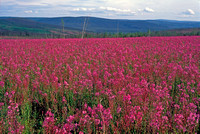 Alaska, field, fireweed, sky, bloom, red, fiery, travel, art, photo, photograph, photography