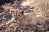 crater, cub, lion, ngorongoro, tanzania, africa, safari, animal, nature, art, photo, photograph, photography