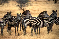 africa, national, park, tarangire, zebra, safari, photo, photography, photograph, art, top, best, landscape, animal, nature
